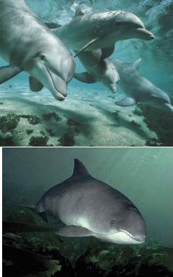 Delfini con folena